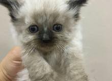قطط هملايا صغيرة