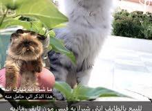 قطط مستويات عاليه وجميله و وحده حامل للبيع
