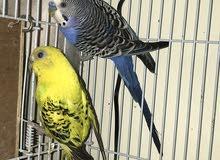 طيور الحب (البادجي) رخيص جدا