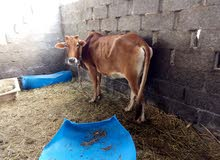 البقره عاقر للبيع