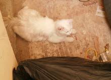 قطط زوج شيرازيه