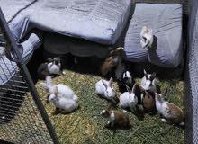 أرانب عمانية للبيع بأحجام مختلفة
