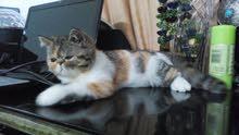 قطه بيكي فيس اصلي عسوله وطيوبه اوي