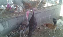 دجاج -رومي -فرنسي -سمان