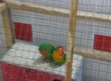 طيور حب وقندورات