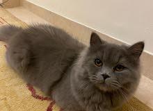 ذكر قط شيرازي للبيع persian cat for sale