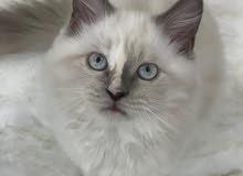 للبيع قطط هيمالايا