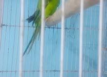 طيور دره