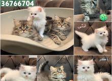 كتن للبيع kitten for sale 50bd