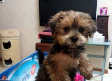 Adorable Yorkshire Male Puppy For Sale