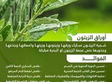 اوراق زيتون خضراء -مجففة-مطحونة