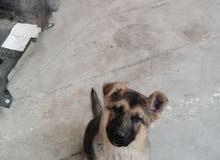 موجَد كلب جيرمن شبرد العمر ثلال اشهور