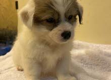 pure maltese dog breed