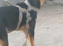 كلب للبيع أو مراوس بكلب زينه