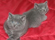 قطط بريتش بلو بيور للبيع british blue kittens for sale