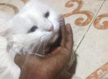 قطه للبيع سراجي انثىء عين زرقاء وعين تقريبن صفرا