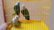 طيور مدغشقر بحالة جيدة إنتاج محلي ذكور فقط.
