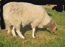 خروف وطني سنه ثني السعر 1200
