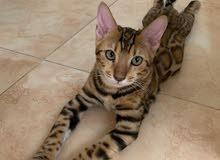 مطلوب قط ( بنغال ) - Bengal Cat
