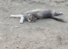 قطة فارسيه وذكر شيرازى