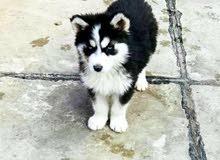 اريد كلب هاسكي صغير