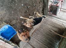 كلاب للبيع ذكر وأنثى بصحه ممتازه للبيع