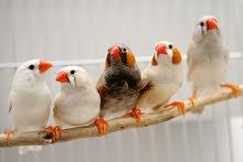طيور جنه (فنقز) طيور جنة للبيع