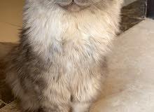 للبيع قطة انثى العمر 7 شهور
