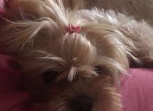 كلب مالتيز