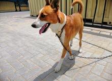 كلب باسنجي basenji dog