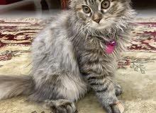 قطه انثى عمرها اربع شهور ونص