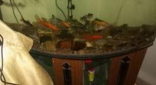 حوض سمك حجم كبير مع طاولته للبيع