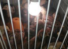 افراخ دجاج العمر ثلاث اسابيع