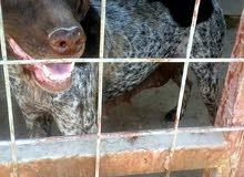 كلب صيد بوينتر الالماني للبيع تفاصيل وصف