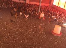دجاج عماني للبيع الحبه بريال 94350561
