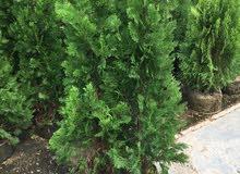 نبات زينة خاحي