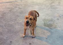 كلب بيتبول  عمره 4شهور