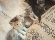 قطط شيرازى للبيع رخيصة