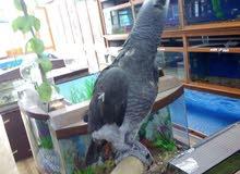 فرخ ببغاء تيمنا اليف للبيع او للبدل على طيور