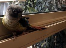 طير من فصيلة الببغاء