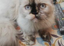 قطة هيمالايا للبيع