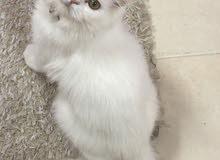 persian cat - قطه فارسيه شيرازيه