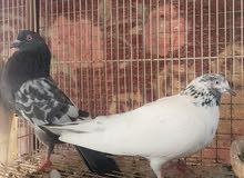 طيور باكستانيه