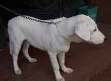 كلب دكر الاباي