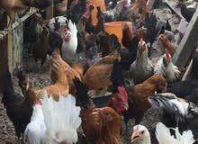 دجاج بلدى بياض للبيع