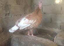 دجاجه روميه منتجه ولون جميل جدا