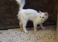 قطة نثية عمر 4 اشهر