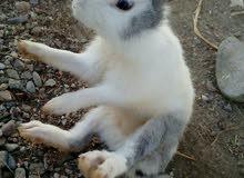 للبيع ارنب ذكر عماني لون جميل جدا .....