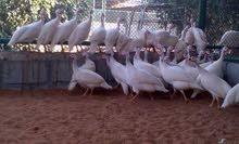 دجاج وادي عمر 3 شهور