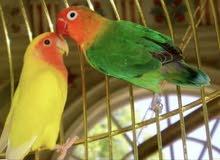 زوج (عصفورين) طيور الحب love birds